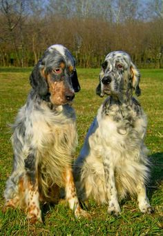 Photograph english setters by Andreea Redacaju on 500px