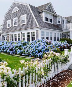 shingled nantucket home with blue hydrangea hedge