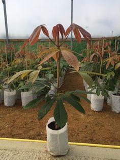 Girling Chestnut - Barcham Trees
