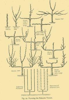 espalier fruit trees - Google Search