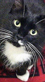 "Stash, short for ""Mustache Pete,"" is a tuxedo cat with black and white ... #Accessories - more at Catsincare.com"