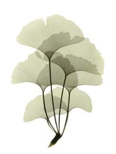 The unique history of the ginkgo tree speaks to the connections between humans and trees, and shows us how we can ensure the survival of species imperiled in the wild by planting them in our garden…