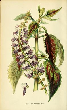 Coleus Blumei. Frontispiece from 'The Florist and Horticultural Journal.' Editor H.C. Hanson. Published in Philadelphia 1854. Pennsylvania Horticultural Society, McLean Library archive.org