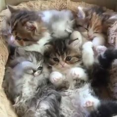 Fluffiness overload! ❤ #cats #love #follow #photooftheday #catpics
