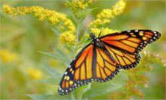 Minnesota State Butterfly - Monarch Butterfly