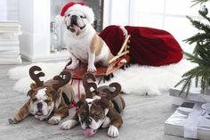 Great photo #englishbulldog #breed #english #bulldog #best #dogs #cute #bulldogs #dog #pets #animals #canine #pooch #bullies #christmas