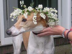 http://www.greyhound-data.com/greyhound/544811/124/Greyhound_Task_Honey_Bunch-big.jpg