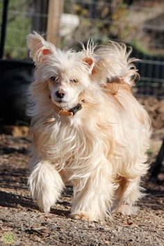 `Website for organization helping pets and owners. Chinese Crested Powder Puff, Chinese Crested Dog, Pet Dogs, Pets, Dog Treats, Logan, Photo Galleries, Gallery, Animals