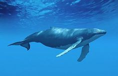 Humpback Whale Paintings Related Keywords & Suggestions - Humpback ...