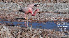 Flamingos na neve??? NÃO. É o deserto de sal no Atacama Chile. Viagens para recordar. Um lugar pra voltar. #sanpedrodeatacama #atacama #desert #nature #chile #mercosul #americadosul #sudamerica #viagem #férias #trip #travel #ootd #photooftheday #memories #flamingos #salar