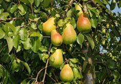 Der Birnbaum gehört zu den Klassikern unter den Obstbäumen und darf in keinem Garten fehlen. Hier deshalb einmal erklärt, wie er gepflanzt und gepflegt wird.    Die Birne gehört zu den europäischen Kulturgehölzen, ist aber auch in Asien und Nordafrika beheimatet und ist ein Kernobstgewächs. Ihre zumeist süßlichen Früchte sind sehr beliebt und werden vielseitig verarbeitet, z.B. auf Kuchen, ...