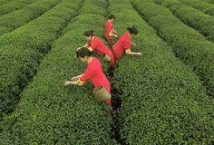 62 - PLANTACIONES DE TÉ: trabajadores recogen hojas de te en una plantación de China. El país produce más del 30% de las reservas de té mundiales. Más de 4,5 millones de toneladas de te se producen en el mundo cada año.