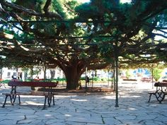 """This 130-year-old tree with a 23-meter (75 feet) diameter is a gigantic umbrella in the garden of Principe Real. The official scientific name is Cupressus lusitanica, and while """"lusitanica"""" recalls the name of Portugal during Roman times, this tree does not have origins in Portugal or even in the Iberian Peninsula. It's from Mexico and probably ended up in Portugal in the early 1600s"""