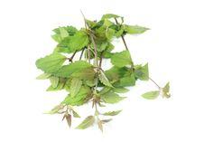 Calea Dream Herb (Calea Zacatechichi)