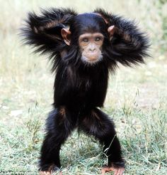 Strutting his stuff: A Chimpanzee appears to show off some of his best dance moves for a wildlife photograher