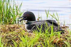 """""""Nesting Loon"""" Photo by Mike Crowley   I have always wanted to get photos of a loon sitting on a nest in the worst way, and till now the chance has never presented itself. A friend told me there was a loon on a nest on a small lake, and the nest was visible from the shore. I decided to go and take a look for myself, and when I got there, a loon was sitting on the nest and its mate swam a distance via Life in the Northwoods FB"""