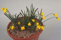 RHS Plant Selector Narcissus asturiensis (13) AGM / RHS Gardening