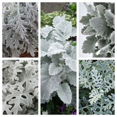 While technically NOT a flower... or at least a cut flower... (although this velvety silver leafed plant does indeed flower)... it has gained international popularity for it's silver grey appearance...  With many varieties that include Cirrus Cloud Lace Quick Sliver and Silver lace... (many pictured here)...  The Botanical name for this foliage plant is: Cineraria maritima...  The common name is also shared by The Mayor of Thunder Bay Ontario a British POW from WWII that was crucified for…