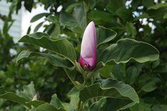 Magnolia--reblooming!