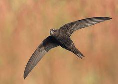 Gierzwaluw van vroegevogels