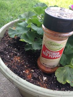 Chipmunk Deterrent:  Dollar store red pepper flakes grind real fine, put back in container, sprinkle around potted flowers to detour chipmunks. It works and doesn't hurt the flowers.