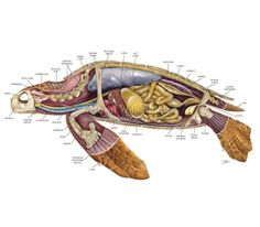 Internal Anatomy of a Turtle | Sea Turtle Anatomy (lateral view)