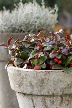 grote pot met rode besjes plant