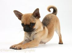 Dog: Chug (Pug x Chihuahua)  This looks like my Bubbles, but she has floppy ears :)