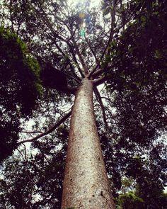 #OldPhotos #Tree #LookingUp #Kuranda #Cairns #Queensland #Australia #Y2011