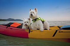 Not All Dogs are Good Swimmers: Tips to Keep Your Pet Safe on the Water In fact, some dogs don't swim well or naturally and can drown as fast (or faster) than a person. Don't assume your dog will take to the water and be able to stay afloat. Puppies And Kitties, Cats And Kittens, Westies, All Dogs, Best Dogs, Best Swimmer, Kayak Boats, Cutest Dog Ever, Cat Memorial