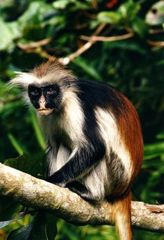 Kirk's Red Colobus, Procolobus kirkii. One of 13 species of red colobus monkey species in Africa, of which 11 are listed as endangered