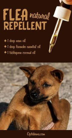 Flea Repellent with Essential Oils for Dogs What Are the Best Essential Oils for Fleas? (+ Practical Tips for Dogs & Cats)What Are the Best Essential Oils for Fleas? (+ Practical Tips for Dogs & Cats) Essential Oils For Fleas, Best Essential Oils, Flea Remedies, Flea Remedy For Dogs, Itching Remedies, Natural Remedies, Pet Sitter, Coconut Oil For Dogs, Oils For Dogs