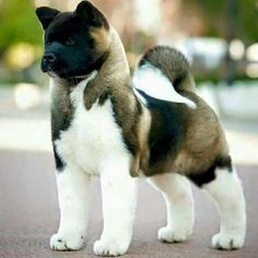 Dogs puppies for sale at www.dogspuppiesforsale.com Magnifique akita américain …