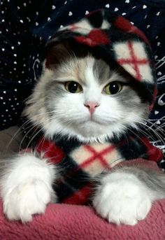 40 Ideas Cats And Kittens Christmas Big Animals, Cute Funny Animals, Funny Cats, Puppies And Kitties, Cats And Kittens, Pretty Cats, Beautiful Cats, Pet Fashion, Cat Hat
