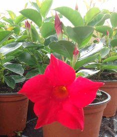 Mandevila - Zahradnictví Lanez s.r.o. Plants, Flora, Plant, Planting