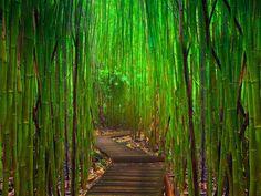 Bamboo Forest, Hana Highway, Maui, Hawaii