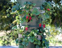 Great Ways to Grow Strawberries in Containers ~Family Food Garden Best way to grow strawberries! See the many ways of growing strawberries in containers, strawberry planters and grow strawberries in pots Strawberry Tower, Strawberry Planters, Strawberry Garden, Fruit Garden, Vegetable Garden, Growing Strawberries In Containers, Growing Tomatoes In Containers, Grow Strawberries, Grow Tomatoes