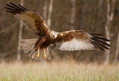 ???Can anyone tell me the name of this bird in English please?   Ptaki drapieżne do perfekcji opanowały swoje kunszty powietrzne ,potrafią chwytać zdobycz nie dotykając ziemi .