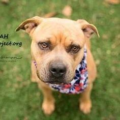 Kansas City, Missouri - American Pit Bull Terrier. Meet Chanterelle, a for adoption. https://www.adoptapet.com/pet/20179497-kansas-city-missouri-american-pit-bull-terrier-mix #pitbull