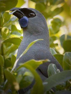 North Island kōkako (Callaeas wilsoni) is an endangered forest bird which is endemic to the North Island of New Zealand. Exotic Birds, Colorful Birds, All Birds, Love Birds, Pretty Birds, Beautiful Birds, Kiwiana, Mundo Animal, Bird Pictures