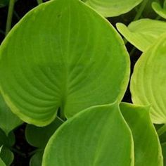 UFO- Shades of Green Hostas and Daylilies