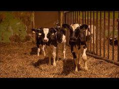 Kainuulaisella maitotilalla on viiden päivän ajan kolme kameraa, joista kaksi kuvaa 360 asteen kuvaa. Robot, Cow, Animals, Cameras, Animaux, Robotics, Animales, Robots, Cattle