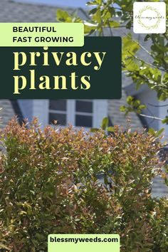 When landscaping, people often use a fence for privacy. Usually that means a wood or vinyl fence. But, those are not my favorite. I prefer a plant fence using fast growing privacy plants. The are appealing, require very low maintenance and create the perfect barrier for privacy. For more landscaping ideas using fast growing plants, read on. #landscapingonabudget #lowmaintenancelandscaping #diylandscaping Fast Growing Privacy Shrubs, Shrubs For Privacy, Privacy Landscaping, Fast Growing Plants, Backyard Privacy, Low Maintenance Landscaping, Low Maintenance Plants, Front Yard Landscaping, Landscaping Ideas