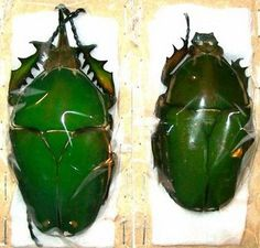 Gigantorhobdus enderleine Taxidermy REAL Insect
