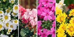 🌺🌼🌷 Ποια λουλούδια ανθίζουν αυτή την εποχή; Χρυσάνθεμο, ιβίσκος, κυκλάμινο, άστερ, κοράλι και 10 ακόμα υπέροχα φθινοπωρινά λουλούδια για να μας χαρίσουν χαρά και αισιοδοξία όλο το φθινόπωρο.