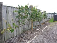 As promised, although a bit later than anticipated, here it is:  Niel and Suzana's grape vines. Niel's Grape Vine: Niel is from New Zealand and is a member