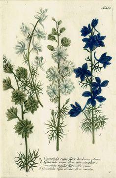 Consolida regia ( Delphinium) from Phytanthoza iconographia, sive, Conspectus aliquot millium, etc., Johann Weinmann, editor, various engravers. Ratisbon (Regensburg), Hieronymus Lentz, 1737-1745.