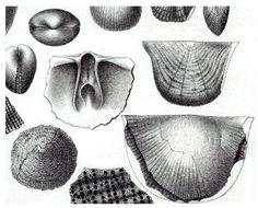 Brachiopoder