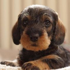 Wire doxie pup