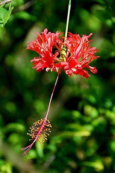 Hibiscus by Alan Lenk Bunch Of Flowers, Beautiful Flowers, Wild Flowers, Hibiscus Flowers, Orange Flowers, Hibiscus Schizopetalus, Love Couple Wallpaper, Tropical Plants, Tropical Gardens